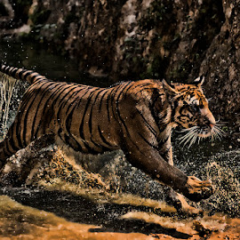 Tiger running by Lisa Coletto - Animals Lions, Tigers & Big Cats ( water, cat, tiger, motion, feline, bengal, mammal, animal )