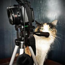 Lillie the Photographer by Majodi :-) - Animals - Cats Portraits ( blackberry, cat, colors, camera, portrait, mobile, animal )
