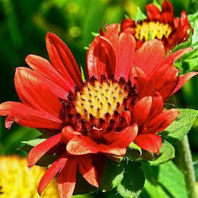 Red Flower by Joe Fazio - Flowers Flower Gardens ( red, gardens, center, garden, flower )