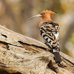 Hoopoe by S Balaji - Animals Birds ( s.balaji, wild, animals, nature, hoopoe )