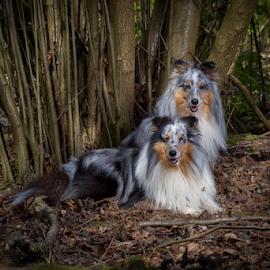 Sheltie in the forest by 'Monique Smit - Animals - Dogs Portraits ( forest, dog, sheltie, dog in to the forest )