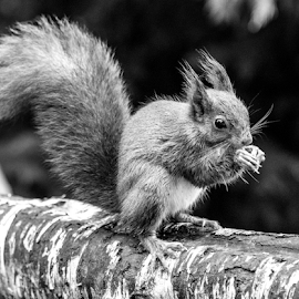 Squirrel by Garry Chisholm - Black & White Animals ( squirrel, nature, rodent, british wildlife centre, garry chisholm )