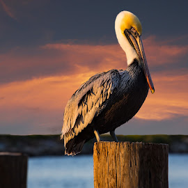 Pelican at Sunset by Mike Vaughn - Animals Birds
