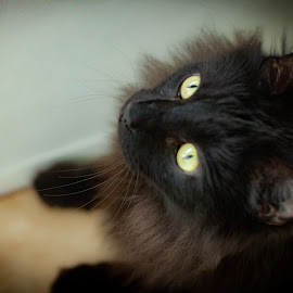 Severus #2 by Mary Phelps - Animals - Cats Portraits ( cats, cat, black, portrait, canon,  )
