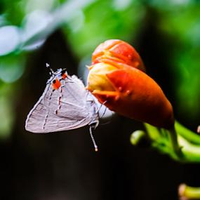 Small Visitor by Jamie Hodge - Flowers Flower Buds ( red, orange, flowers, wildflower, pink, honeysuckle, white, butterfly, red honeysuckle, buds,  )