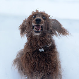 I'm coming! by Susan Hughes - Animals - Dogs Running ( snow, dog, gibbs,  )