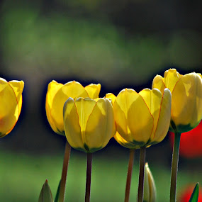 yellow by Tim Hauser - Nature Up Close Flowers - 2011-2013 ( nature, art, fine art, tulips, flowers )