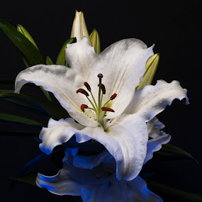 Rainy Day Lilly by Keith Reling - Flowers Single Flower ( japanese golden rayed lily )