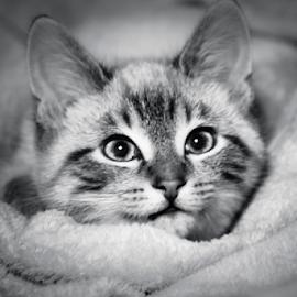 Devil Wears A Pretty Face  by Julie Wooden - Animals - Cats Kittens ( kitten, cat, north dakota, b&w, black and white, hebron, indoors, sam, matte finish, autumn, fall, feline, animal,  )