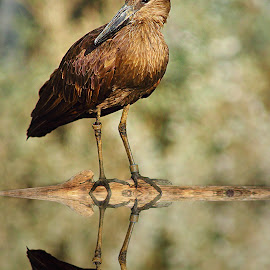 Hammerkop reflexion by Gérard CHATENET - Digital Art Animals