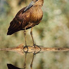 Hammerkop reflexion by Gérard CHATENET - Digital Art Animals