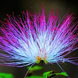 powder puff by SANGEETA MENA  - Flowers Flowers in the Wild