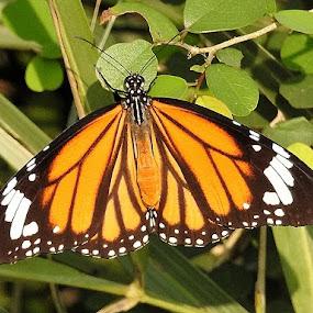 A butterfly by Govindarajan Raghavan - Animals Other Mammals