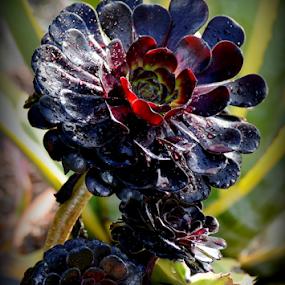 Black Flower by Leif Holmberg - Flowers Flower Gardens ( flower garden, black flower, finland, turku, leif holmberg, black, flower,  )