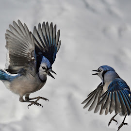 Jumping Jacks by Isabelle VM - Animals Birds ( winter snow, bird, wings, feathers, bluejay )