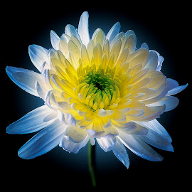 Floral Light by Trent Eades - Digital Art Things ( cremon, single flower, colorful, blue, green, white, yellow, flower, glowing flower )