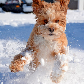 Cavapoo snow dog by Steven Liffmann - Animals - Dogs Playing ( playing, cold, jumping, snow, puppy, cavapoo, fun, cute, dog, running )