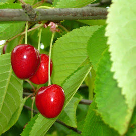 Three by Helena Moravusova - Nature Up Close Gardens & Produce ( cherry, red, nature )