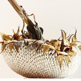 Dried Sunflower by Virginia Folkman - Artistic Objects Other Objects
