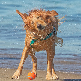 Dog 797 by Raphael RaCcoon - Animals - Dogs Playing