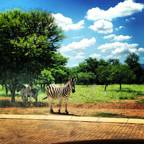Zebra by Bradley Francis - Animals Other Mammals