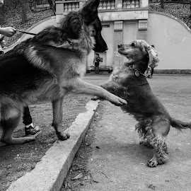 First meet by Gino Libardi - Animals - Dogs Playing ( doggie, dog park, dogs playing, dog playing, dog,  )