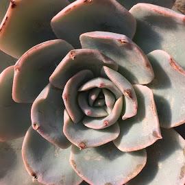 Grey Plant by Vera Thyssen - Instagram & Mobile iPhone ( succulent, pattern, round, grey, symmetry )