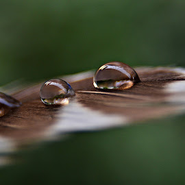 Dew Drops on Feather by Prasanta Das - Nature Up Close Natural Waterdrops ( feather morning, dew, drops )