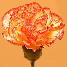 Mini Carnation by Chrissie Barrow - Flowers Single Flower ( orange, single, petals, carnation, yellow, closeup, flower, miniature )