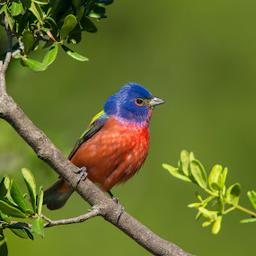 Painted Morning by Sandy Hurwitz - Animals Birds ( may, painted bunting, mature, male, 2016, 6th, transition ranch, fcb )