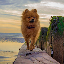 Pomeranian puppy at the beach by Jenny Trigg - Animals - Dogs Portraits ( puppy, beach, dog, dog beach, pomeranian )