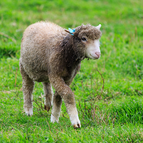 Little Lambs Eat Ivy... by Briand Sanderson - Animals Other Mammals ( farm, washington state, whidbey island, sheep, lamb, mammal, united states, animal,  )