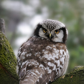 Northern Hawk-Owl by Fred van Maurik - Animals Birds ( northern hawk-owl, surnia ulula, sperbereule, sperweruil, nikon d300 )