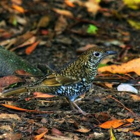 Brassian thrush by Amanda Daly - Novices Only Wildlife (  )