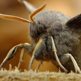 Poplar Hawk Moth by Pat Somers - Animals Insects & Spiders