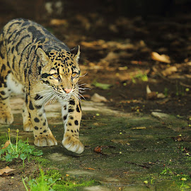 Clouded leopard by Gérard CHATENET - Animals Lions, Tigers & Big Cats (  )