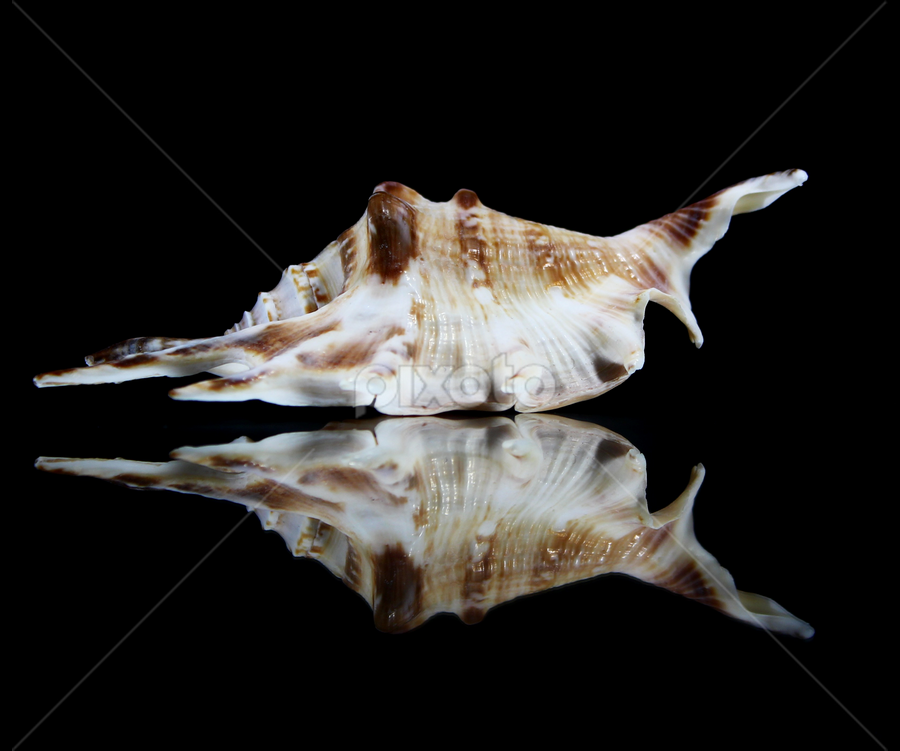 Conch Shell by Dipali S - Artistic Objects Other Objects ( black background, water, spike, shell, reflection, conch )
