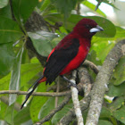 Pico de Plata (macho) - Crimson backed Tanager (male)