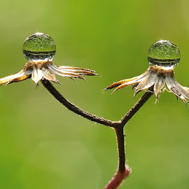 Twin Dews by Petrus Arif - Nature Up Close Water