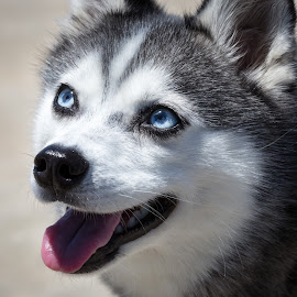 Blue Eyes by Tim Davies - Animals - Dogs Portraits ( sweet, blue eyes, husky, dog, klee kai, miniature )