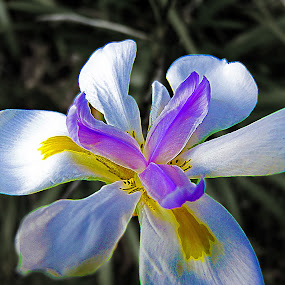 Flower by Mike Mills - Nature Up Close Flowers - 2011-2013 ( plant, macro, african iris, flower, dietes iridioides )