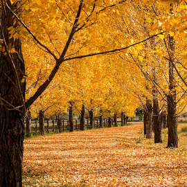 Tree Lined Road by Erin Schwartzkopf - City,  Street & Park  Street Scenes ( autumn, foliage, fall, trees, lane )