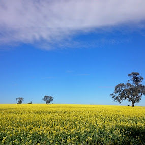 Field of Dreams by Kim Pauly - Novices Only Landscapes ( trees#clouds#golden#flowers#canola fields#dream scape #field of dreams #australia )