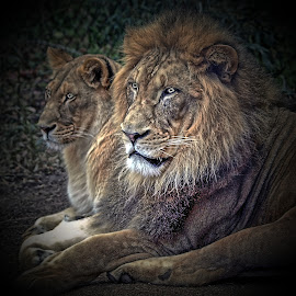 Lions  by Darrell Tenpenny - Digital Art Animals ( cats, lion, nature, zoo, animal )