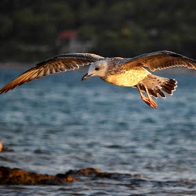 Over the sea... by Daniel Mlakar - Animals Sea Creatures ( gull, fly, moment, sea, sun )