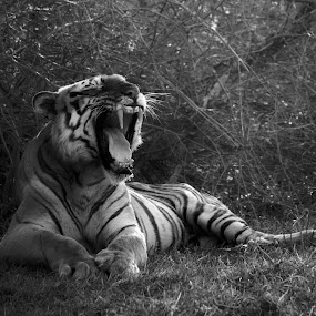 Massive Yawn by Praveen Premkumar - Black & White Animals ( big cat, wild, monochrome, nature, artistic, wildlife, yawn )