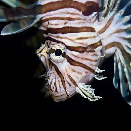 Lion Fish  by Michele Dan - Animals Fish ( butterfly-cod, fish, lionfish, aquarium, zebrafish, pterois )
