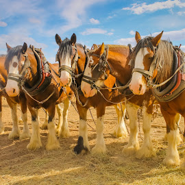 Working horses  by Kathryn Potempski - Animals Horses ( farm, equine, horses, working horses, harness, farmland, team )
