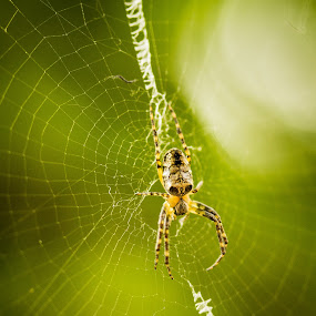 Insy winsy spider by Maha Khan - Animals Insects & Spiders ( pakistan, macro, nature, spider, web )