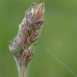 Web covered grass seed head by Jackie Matthews - Nature Up Close Leaves & Grasses ( macro, autumn, spider web, grass seed )